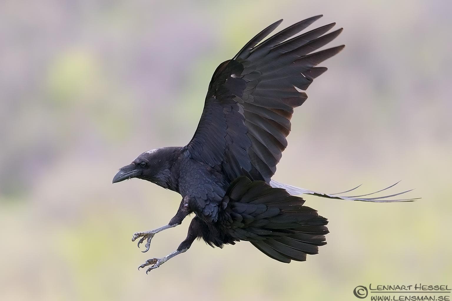 Ravens flying wallpaper - photo#14