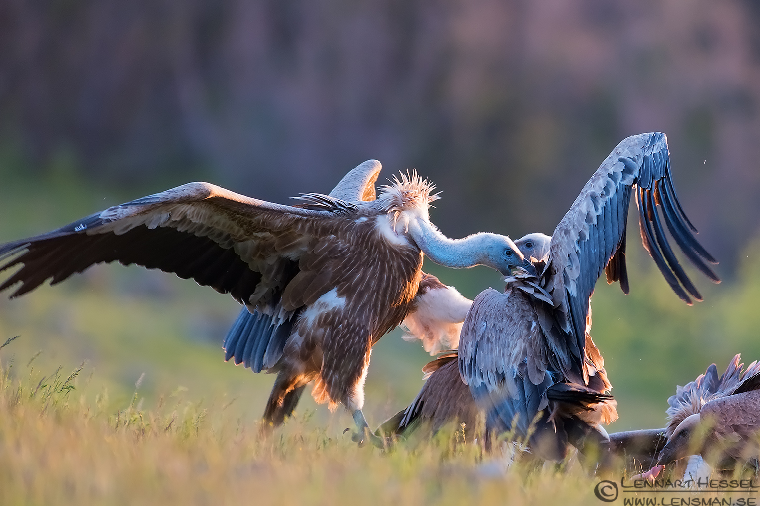 Fighting Griffon Vultures in Bulgaria