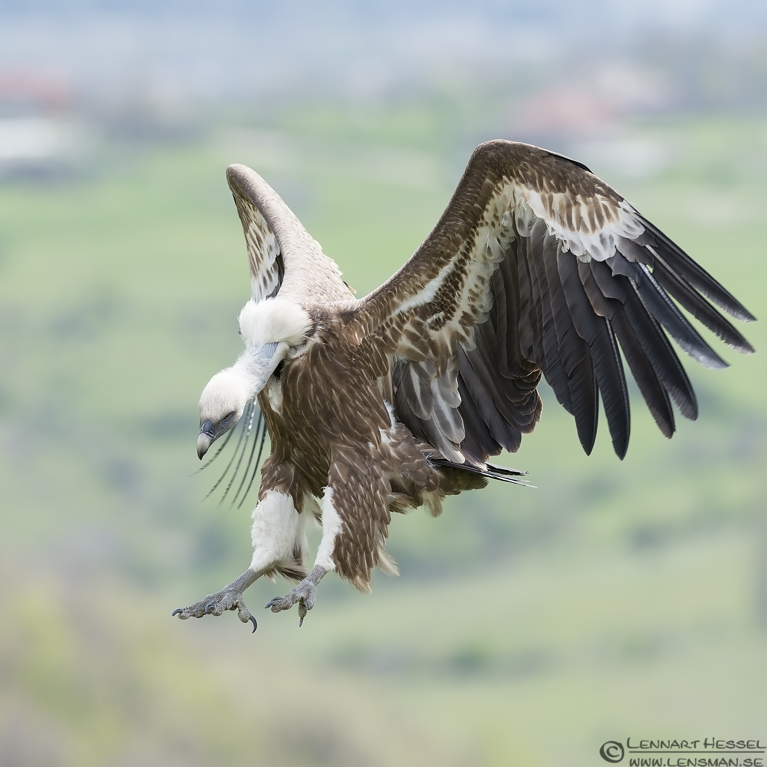 Griffon Vultures claws in Bulgaria