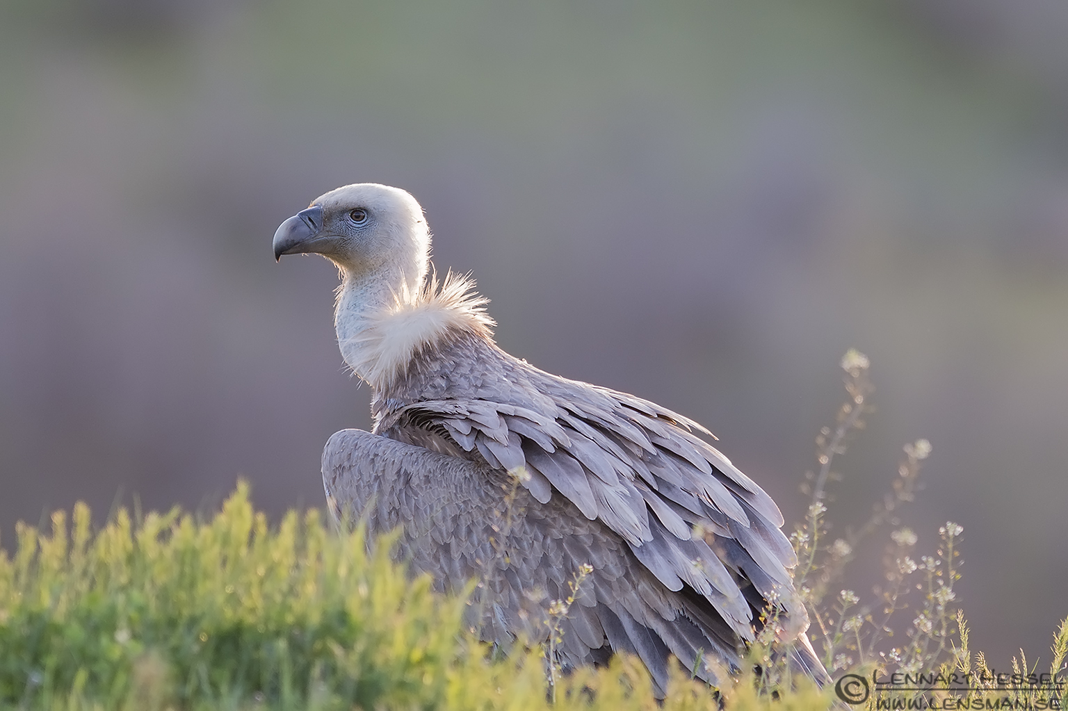 Waiting Griffon Vulture in Bulgaria