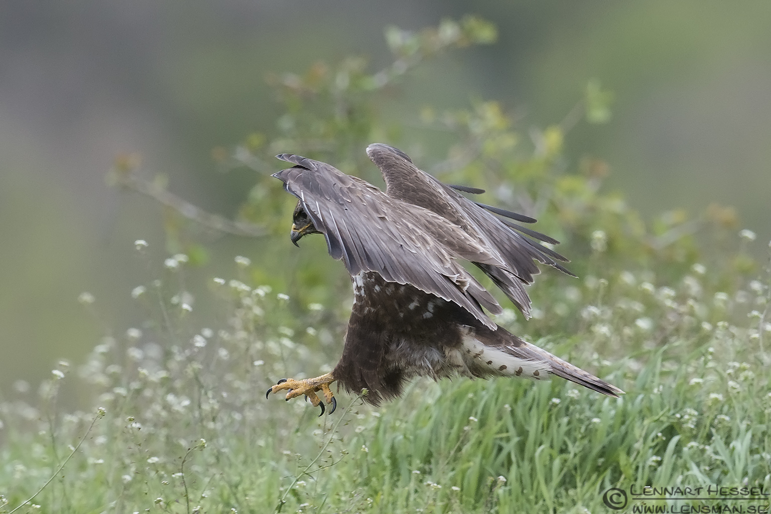 Landing Common Buzzard in Bulgaria