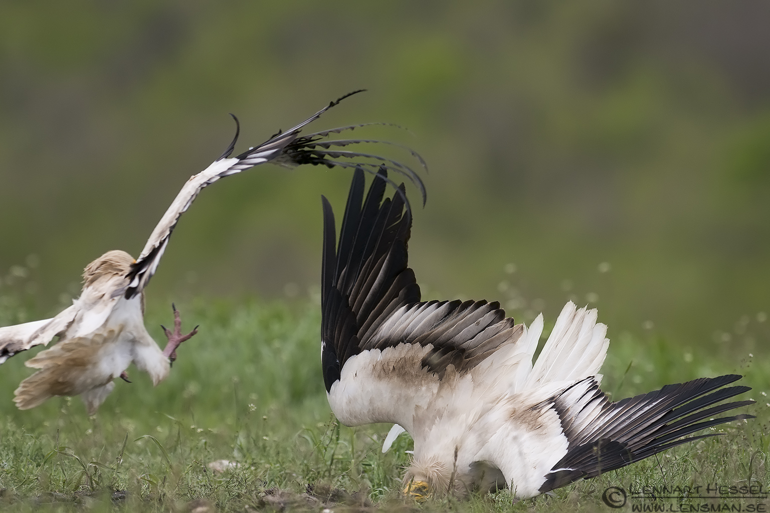 Egyptian Vulture avoiding an attack in Bulgaria