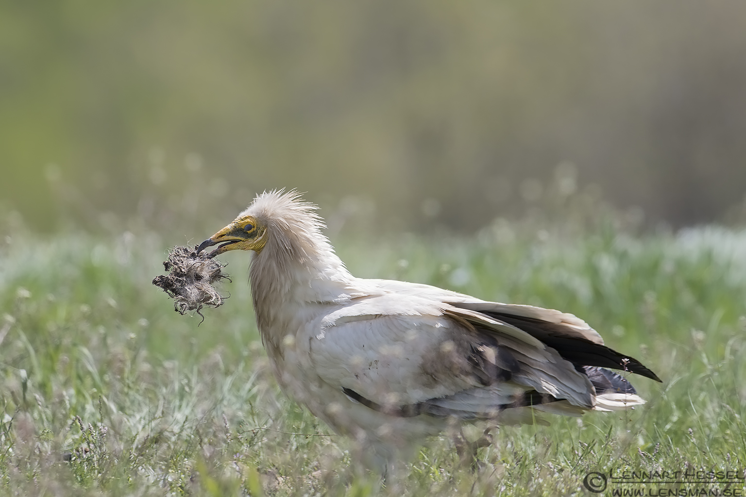 Egyptian Vulture collecting nest material in Bulgaria