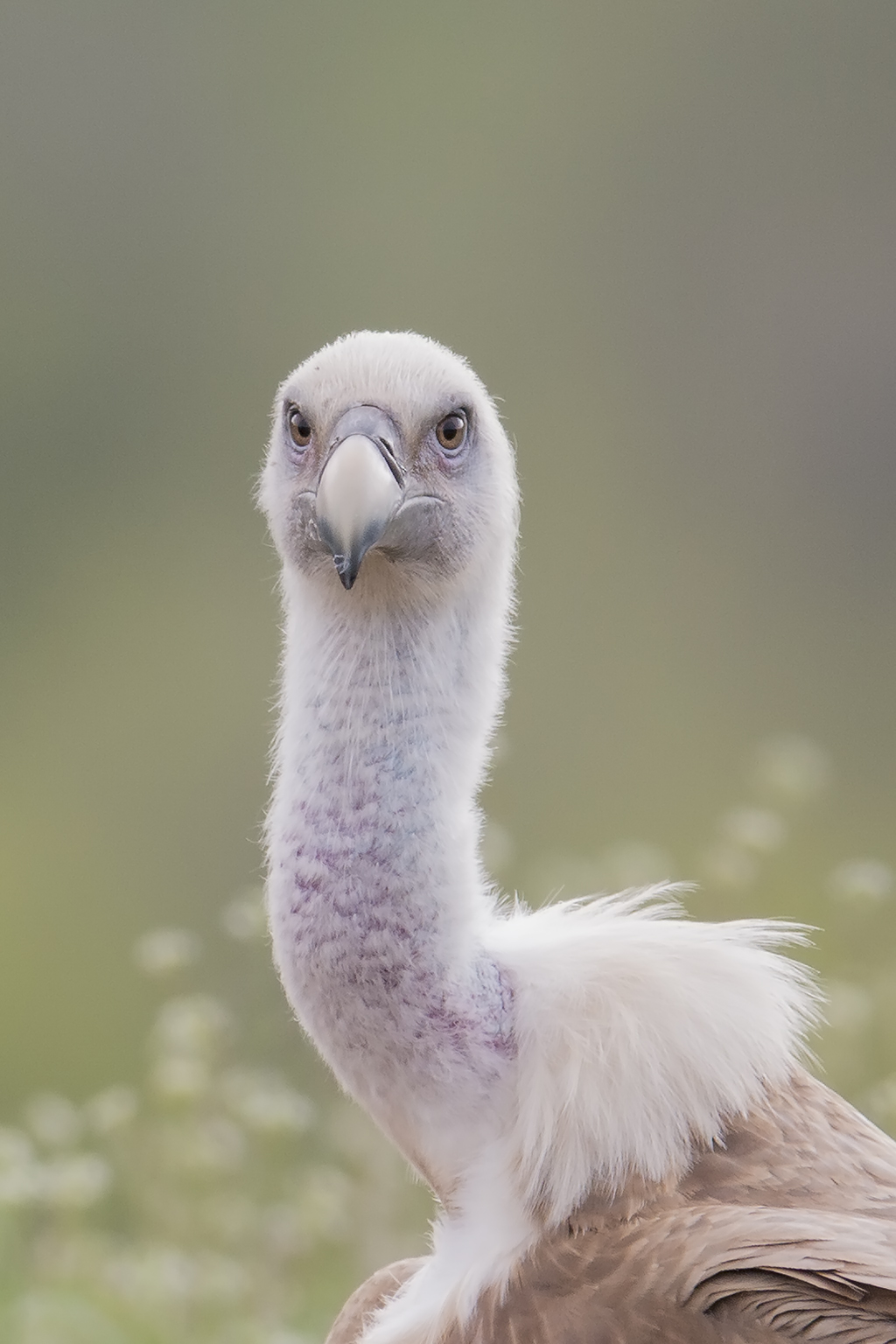 Portrait of a Griffon Vulture in Bulgaria