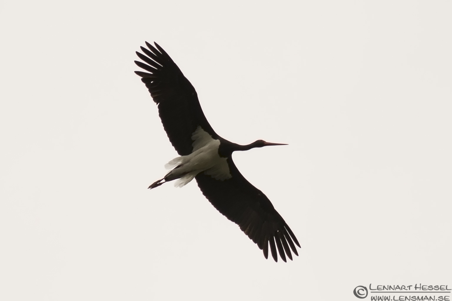 Black Stork in Bulgaria