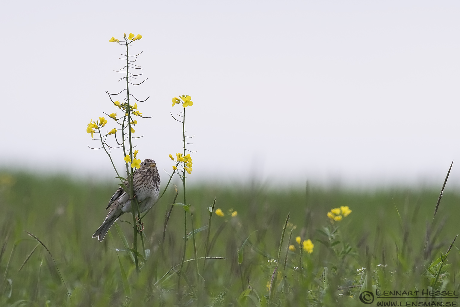 Corn Bunting in the fields 130420