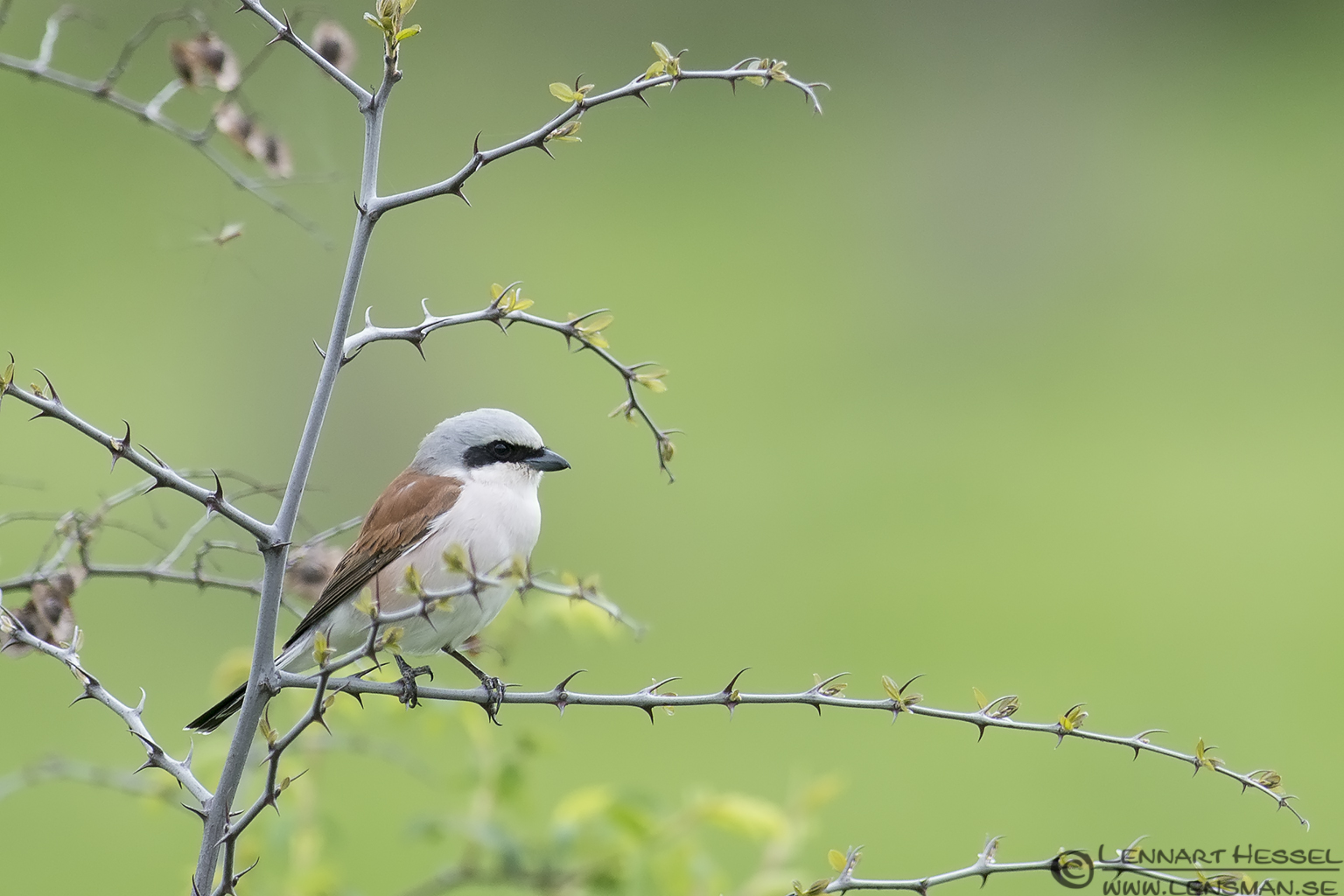 Red-backed Shrike in Bulgaria