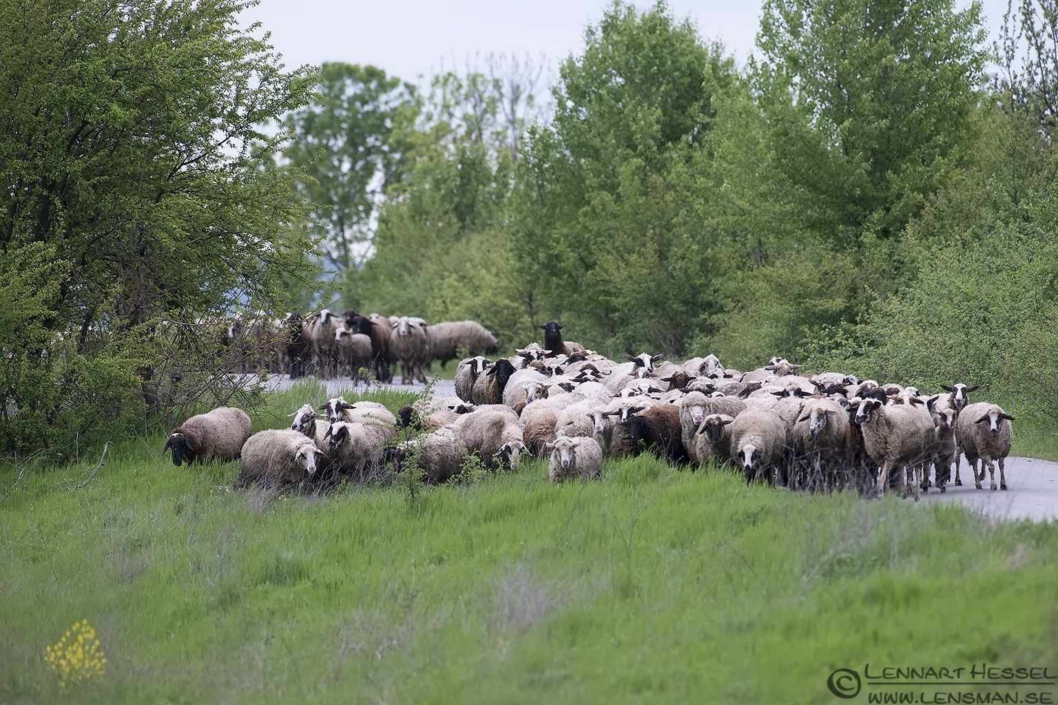 Sheep herd in Bulgaria