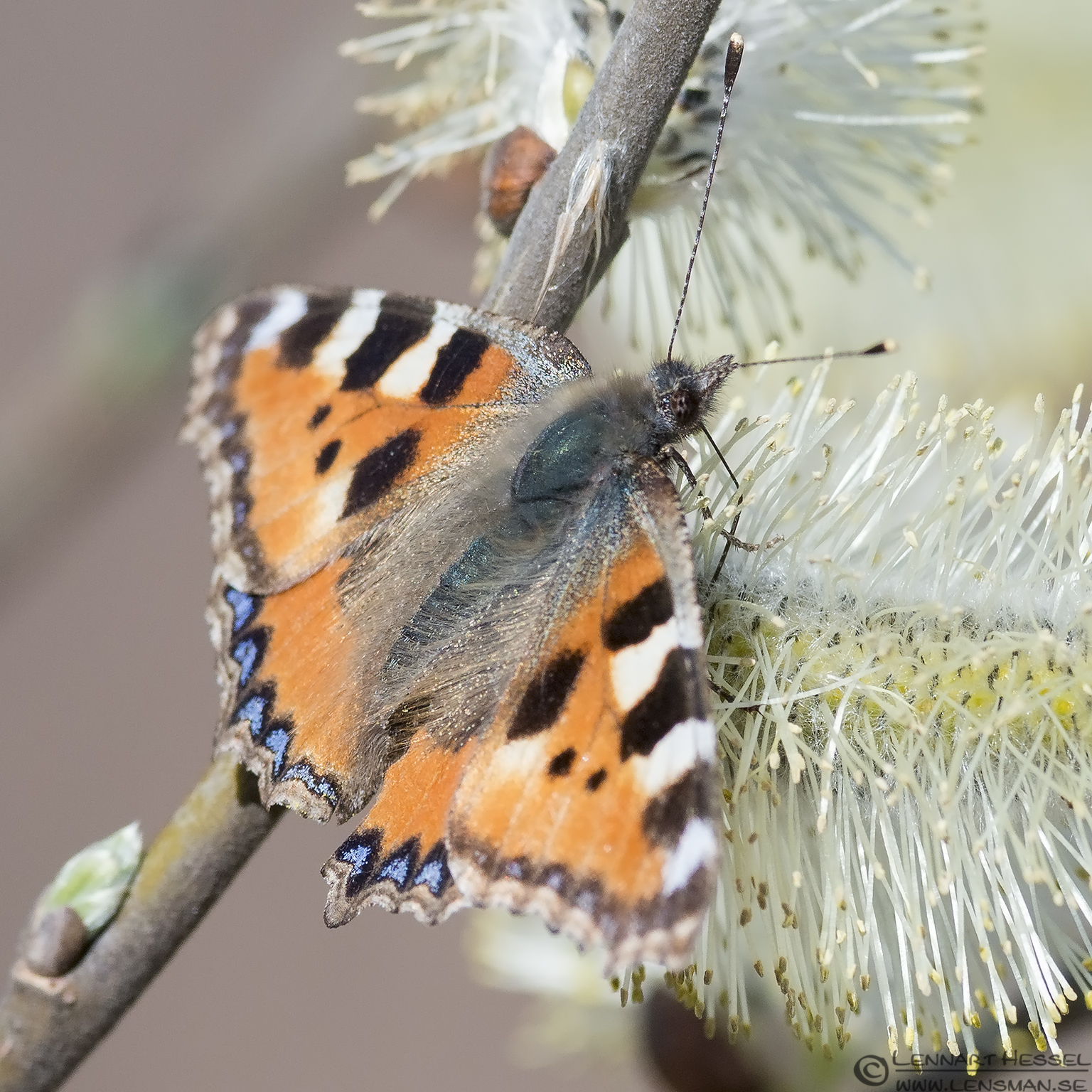 Small Tortoiseshell, spring Gothenburg
