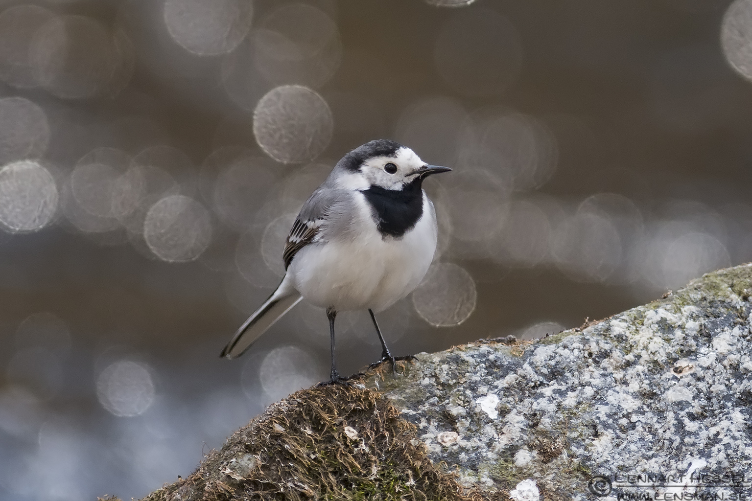 White Wagtail, spring Gothenburg
