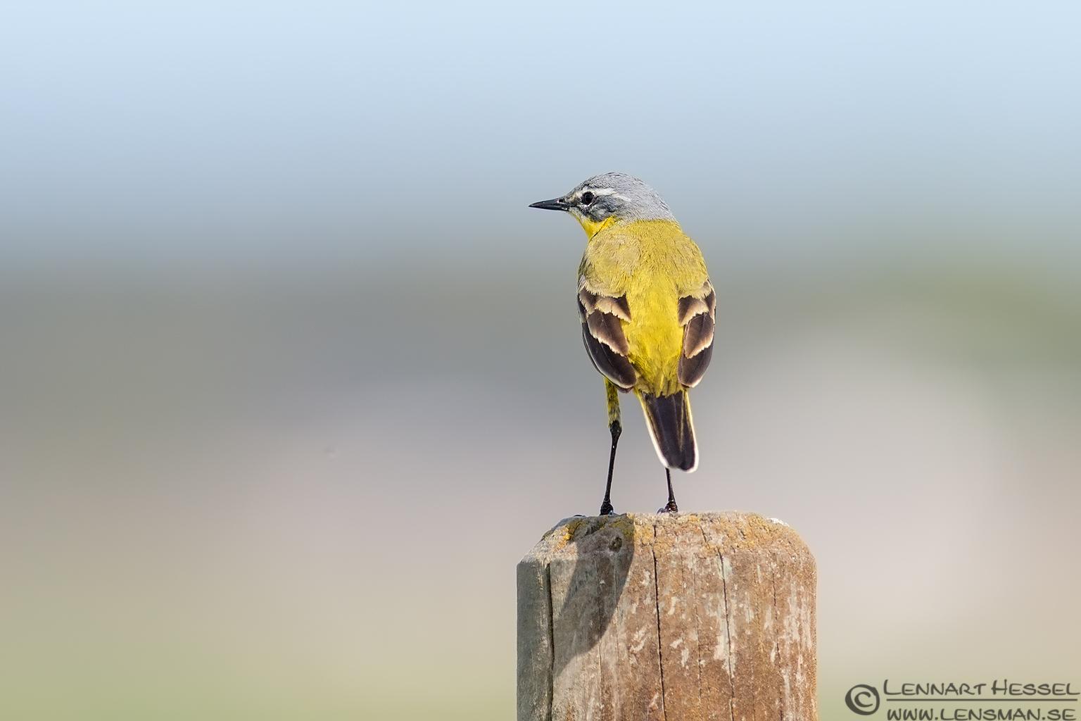 Yellow Wagtail Brantevik