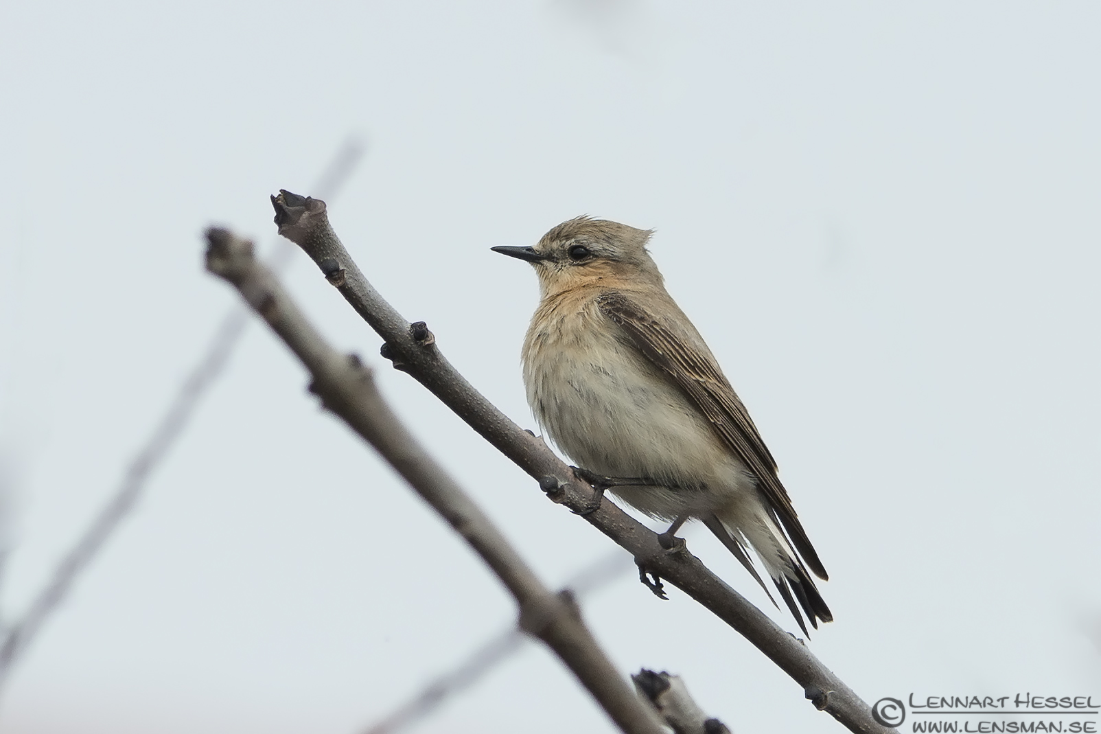 Common Redstart female Stenshuvud
