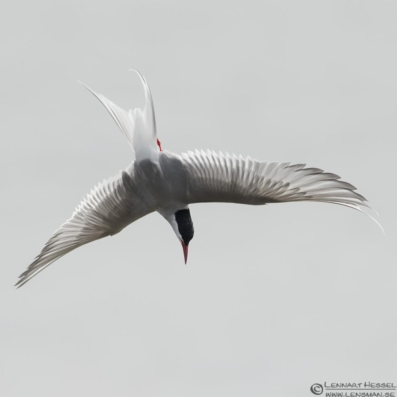 Diving Arctic Tern Beijershamn