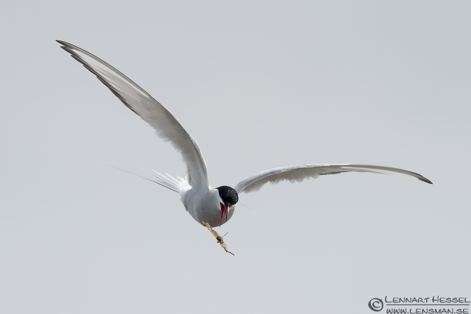 Arctic Tern dropping the catch Beijershamn