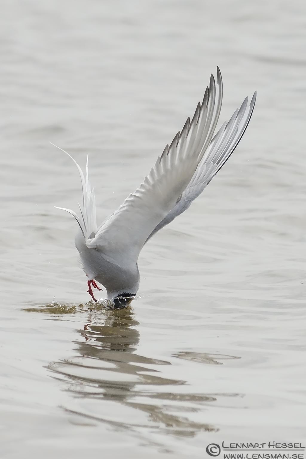 Arctic Tern going in Beijershamn