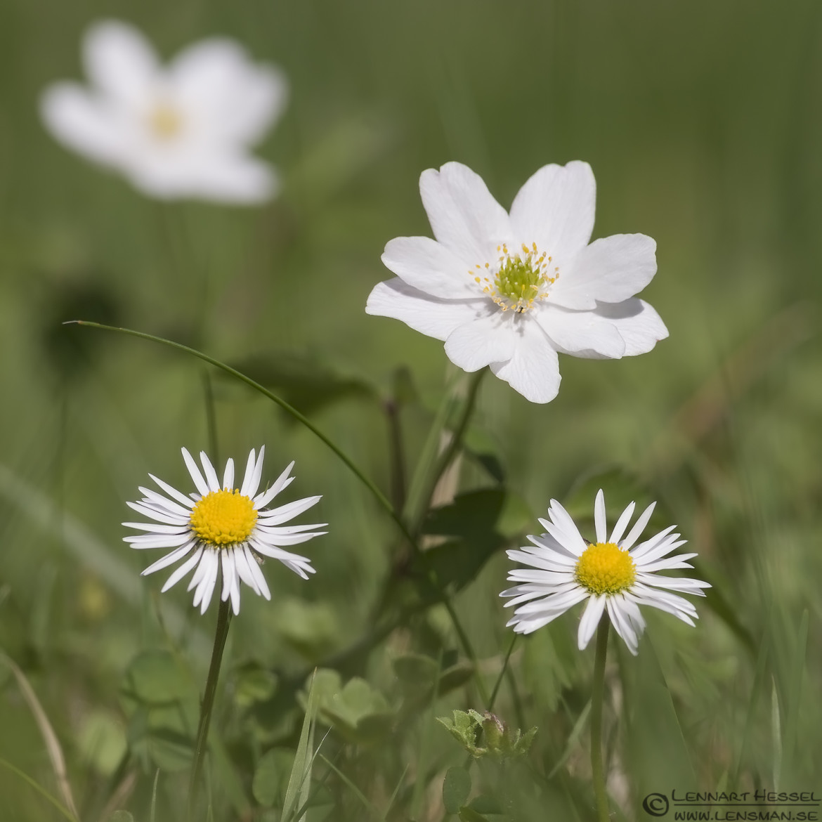 Oxeye Daisy and Wood Anemone Goose