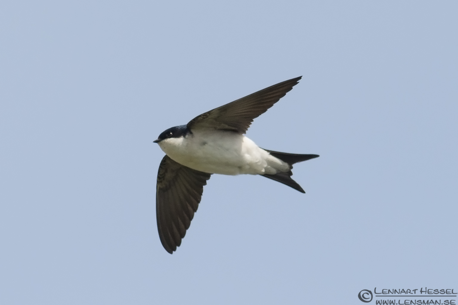 Common House Martin Nightingale