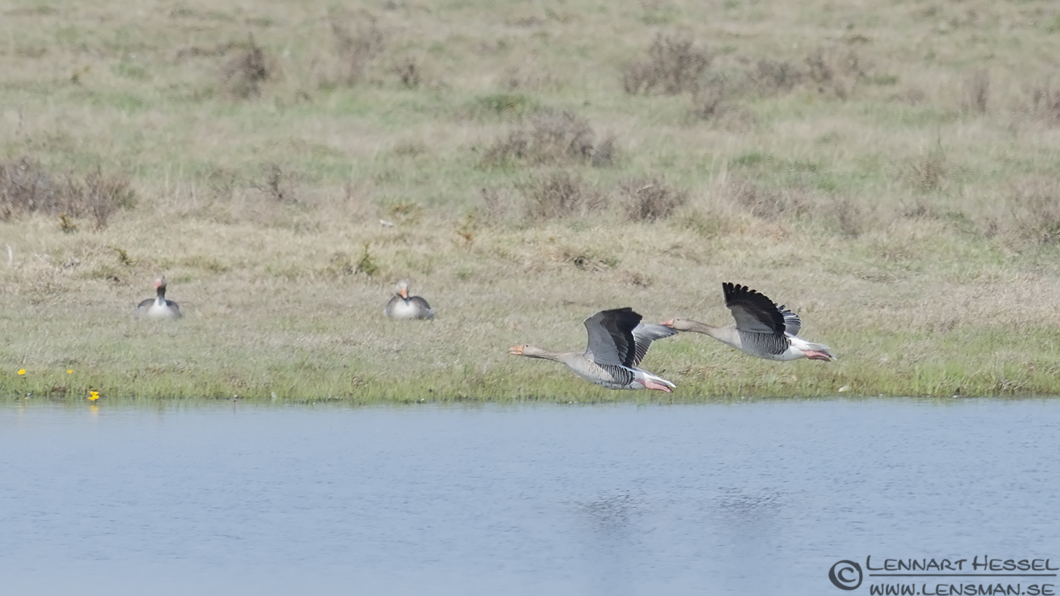 Greylag Goose nightingale