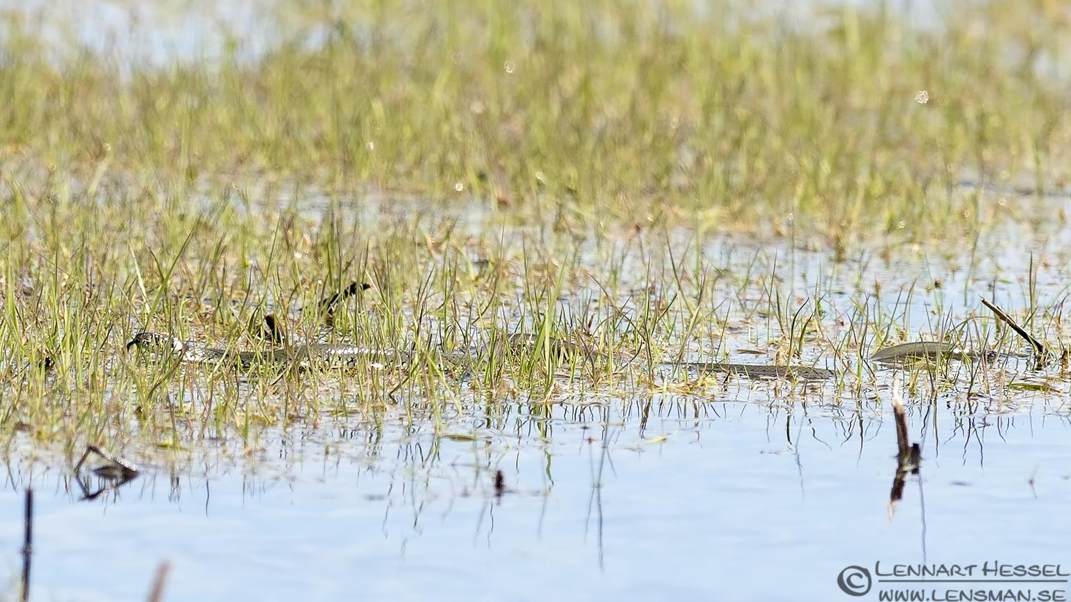 Water Snake nightingale