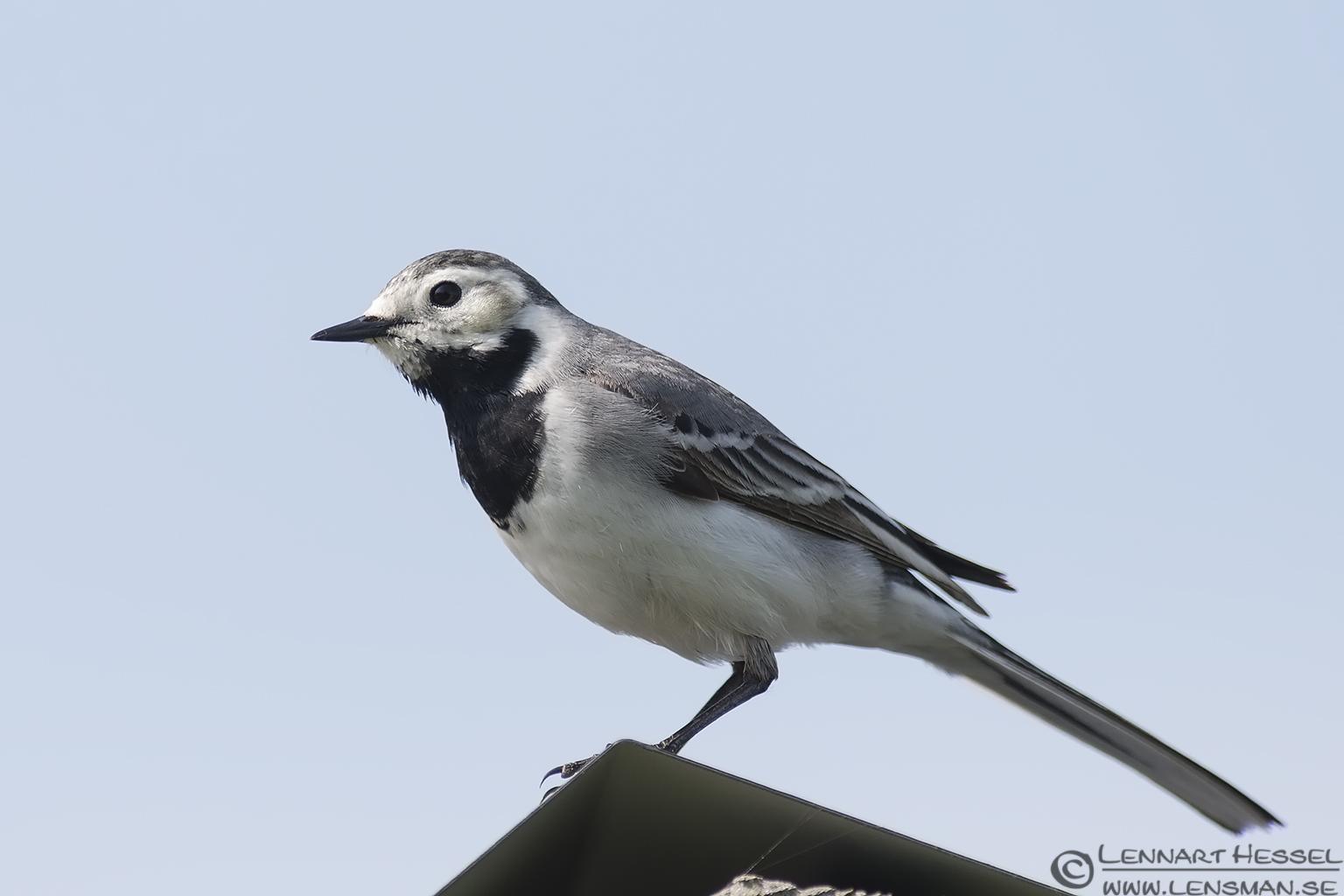 White Wagtail nightingale
