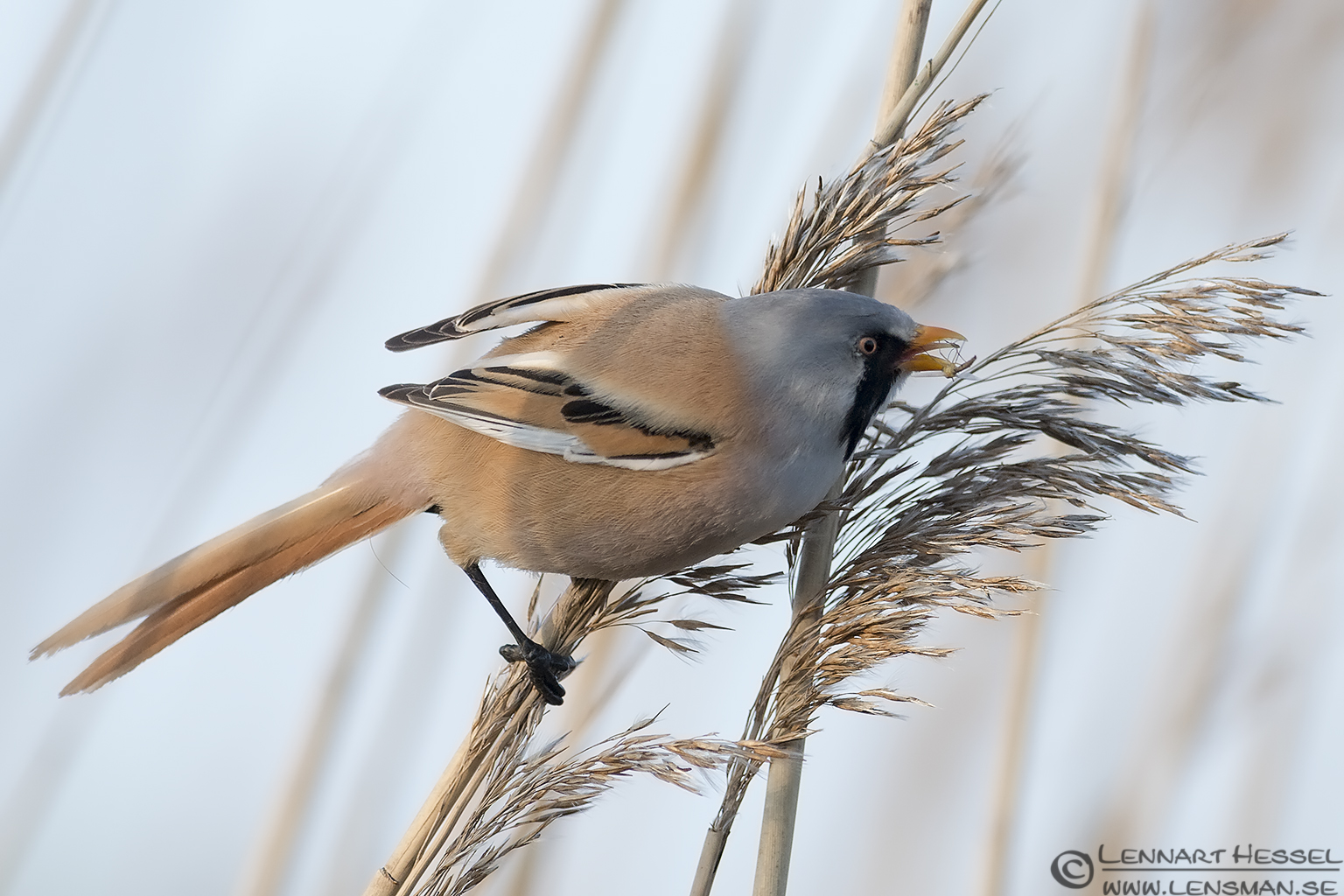 Male Bearded Reedling catching insects