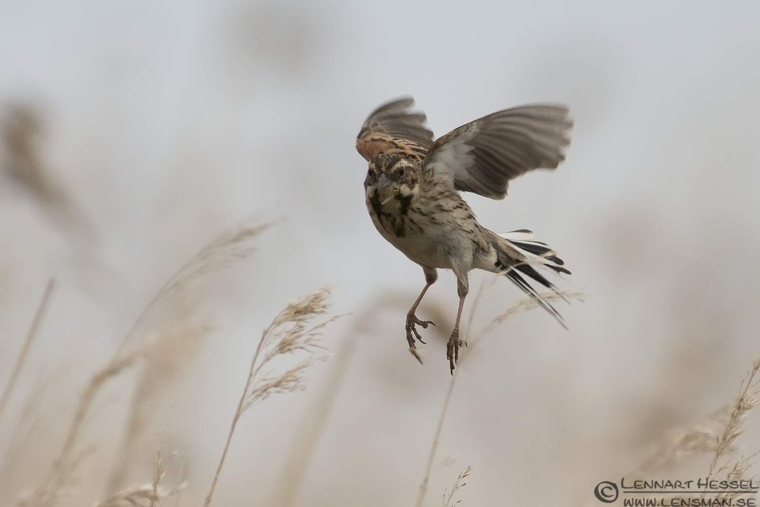 Flying Common Reed Bunting bearded