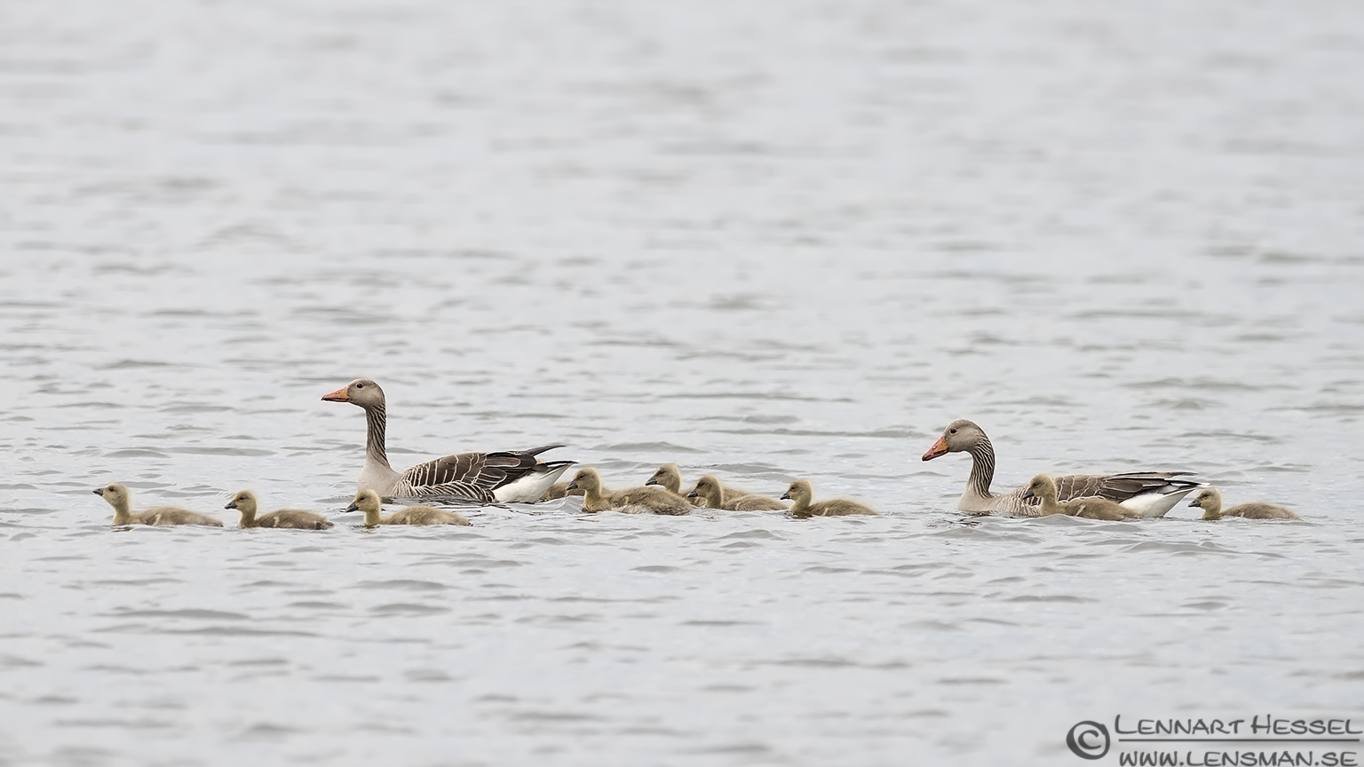 Greylag Goose family bearded