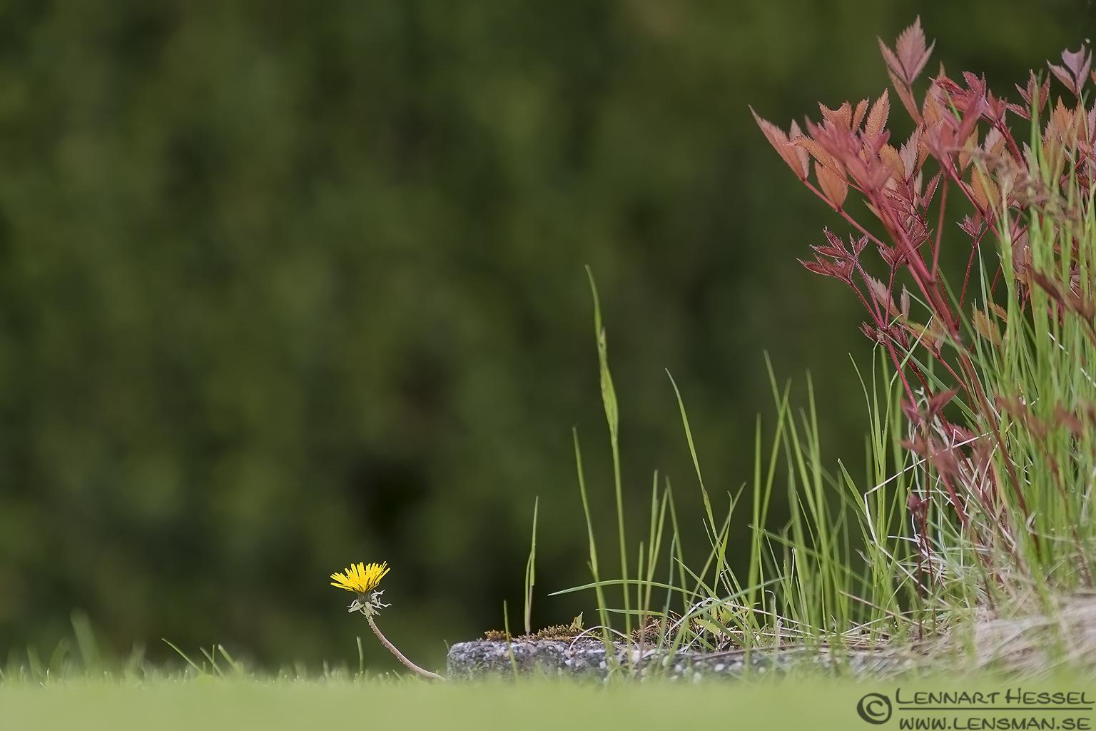 Dandelion West Gothland