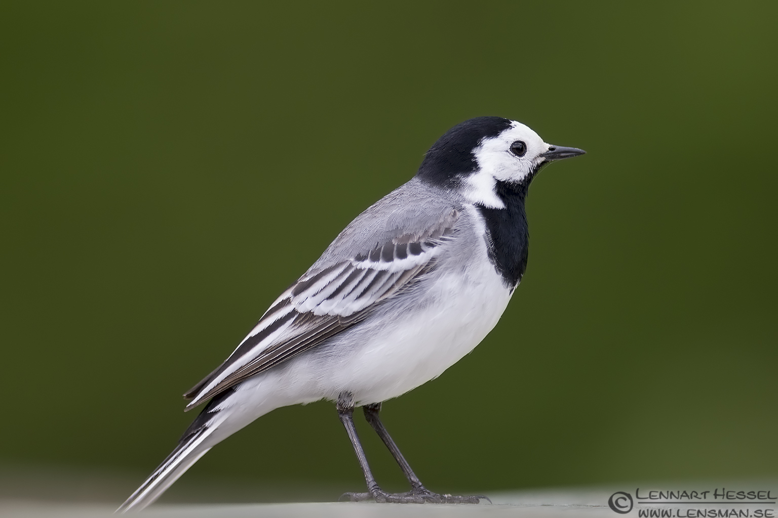 White Wagtail West Gothland