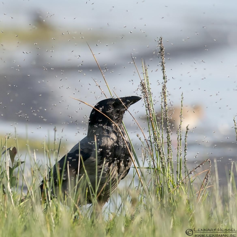 Hooded Crow Trönninge ängar Halland