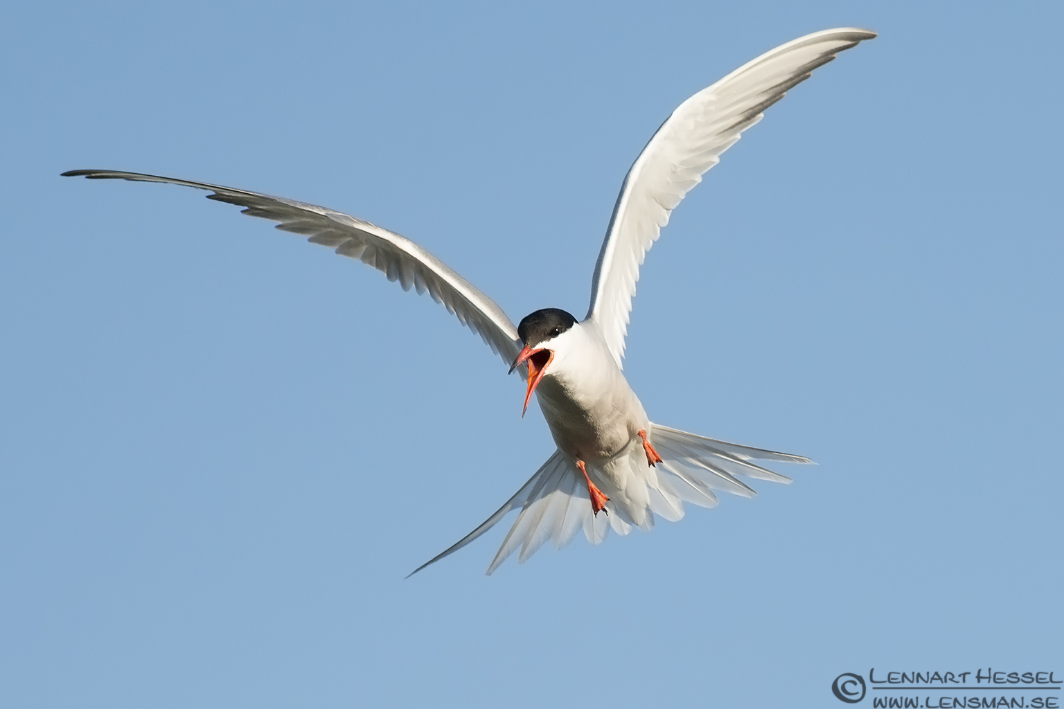 Common Tern calling colony