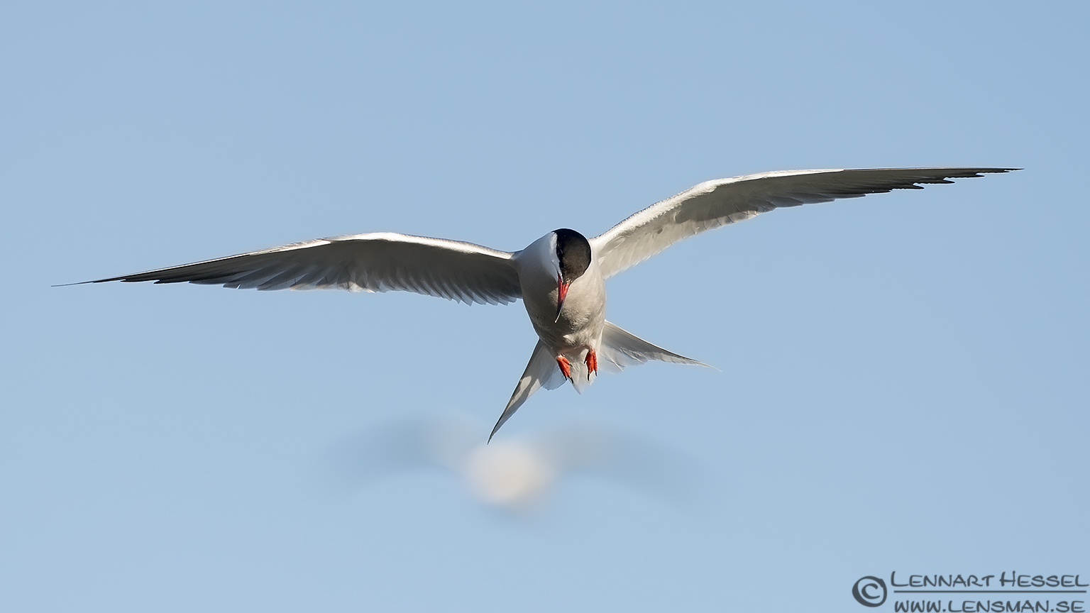 Common Tern look colony
