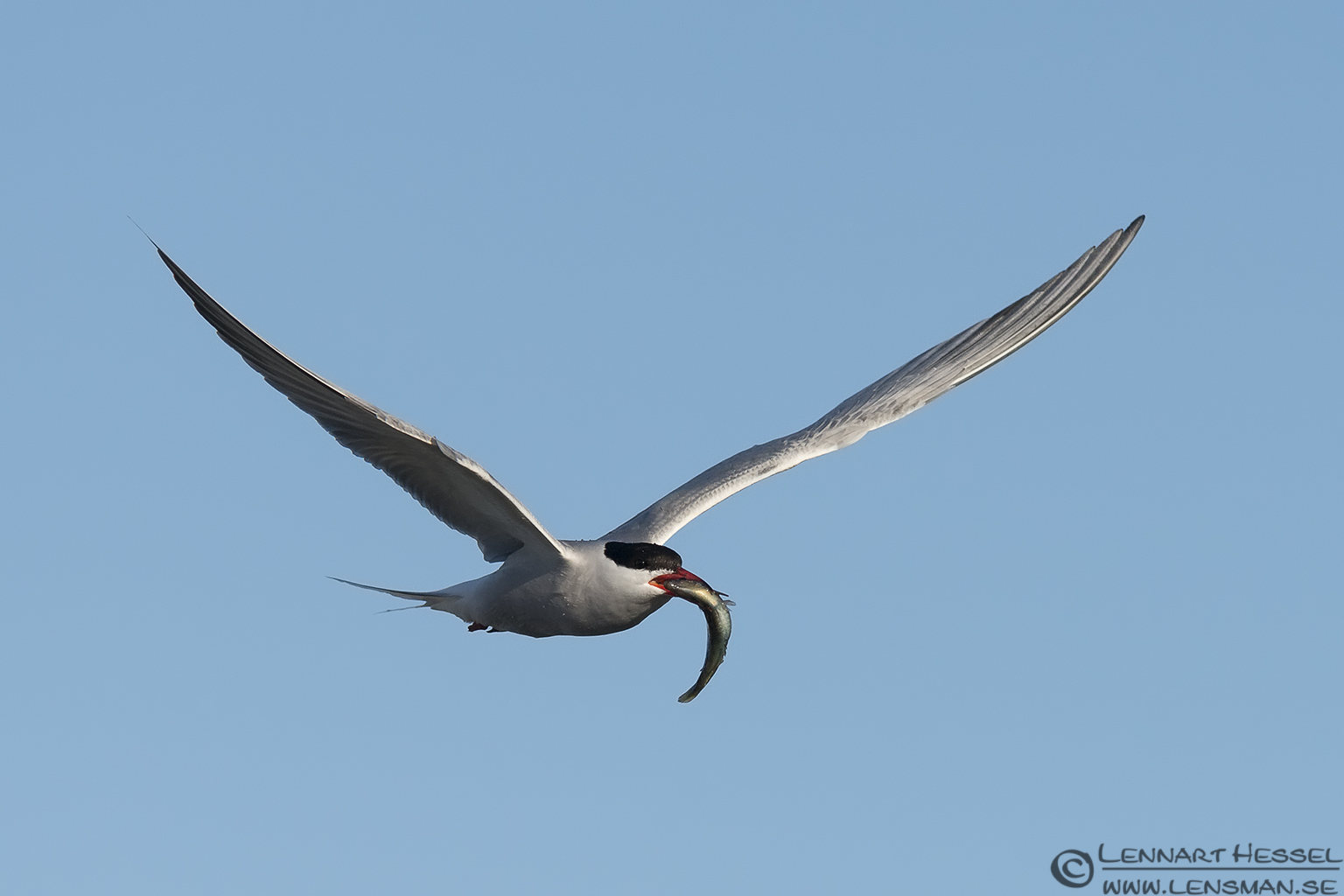 Common Tern with a catch colony