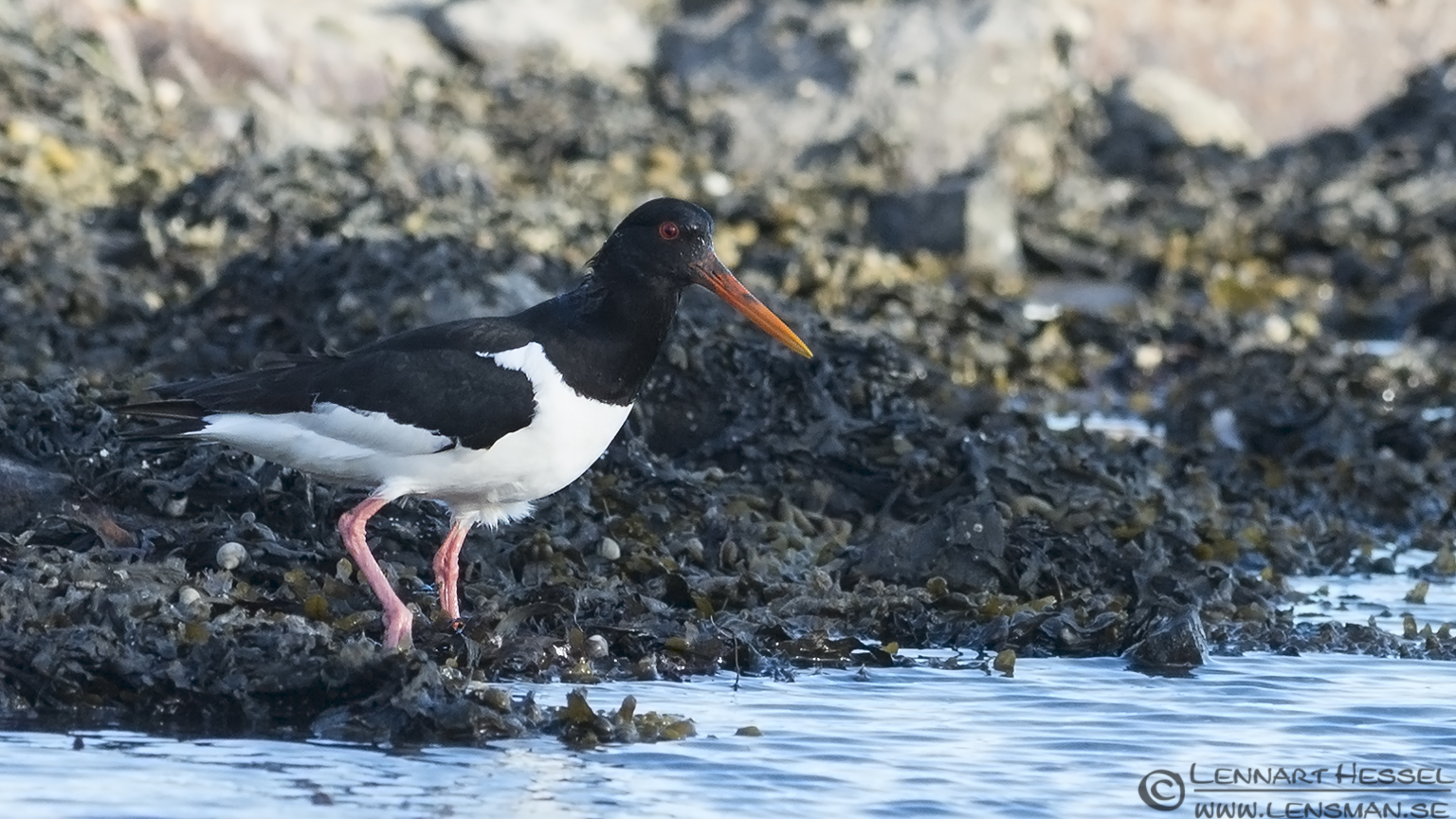Eurasian Oystercatcher colony