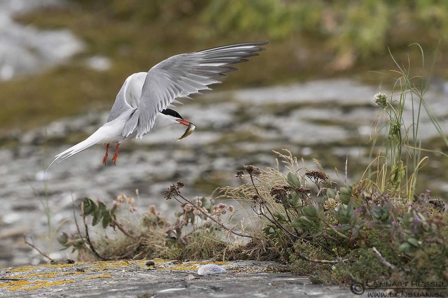 Common Tern food delivery colony
