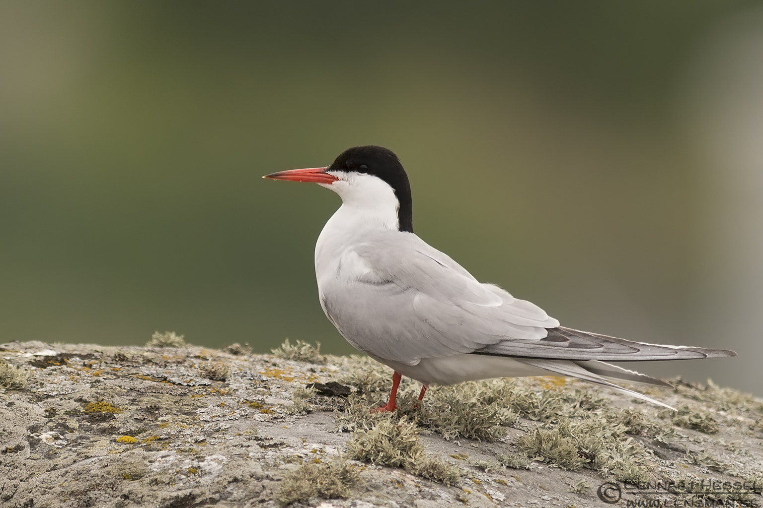 Common Tern colony