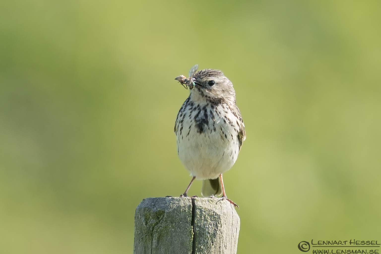 Meadow Pipit with catch