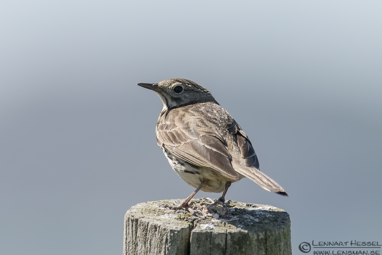 Meadow Pipit catch