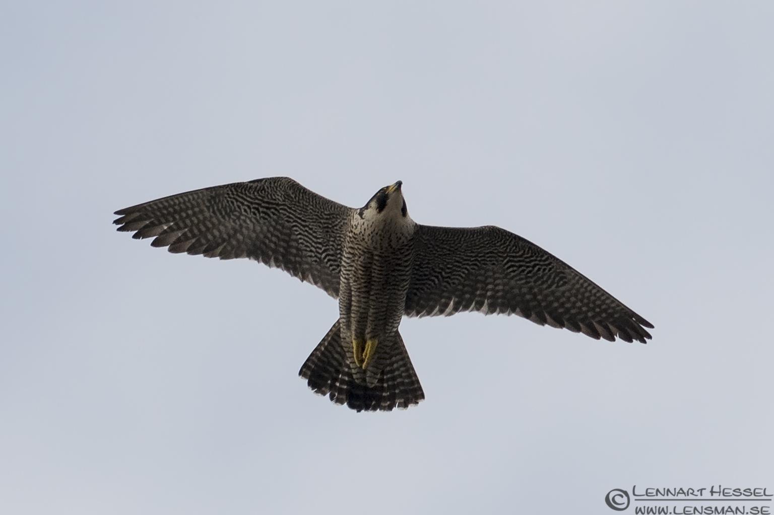 Peregrine Falcon colony