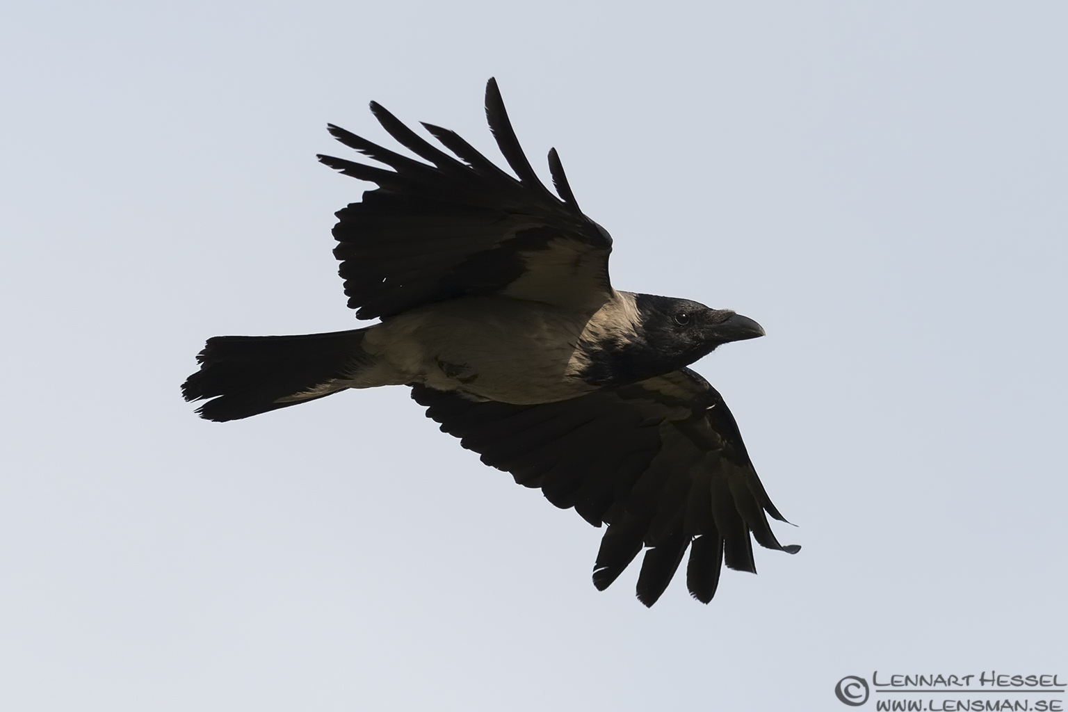 Hooded Crow catch