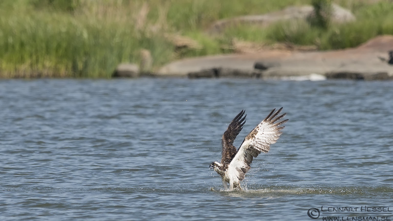 Osprey coming out of the water catch