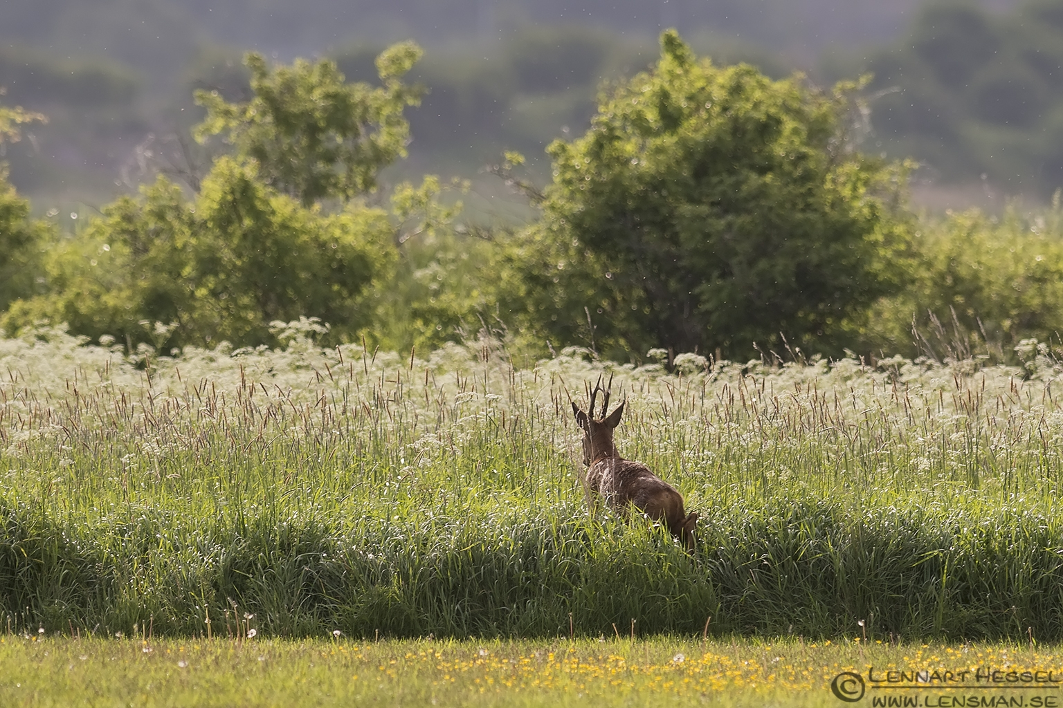 Roe deer catch