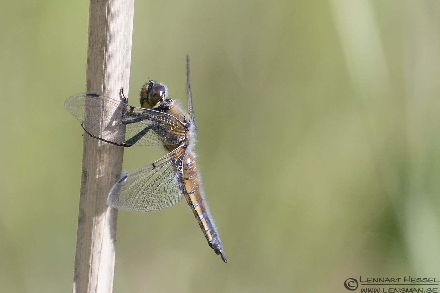 Four-spotted Chaser Dragonflies