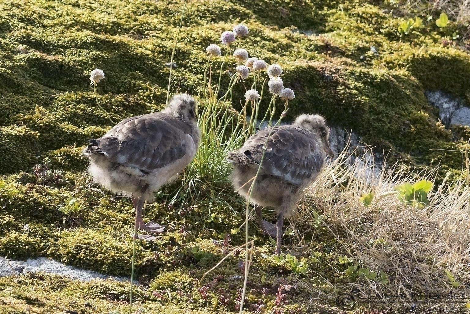 Black-headed Gull chicks colony