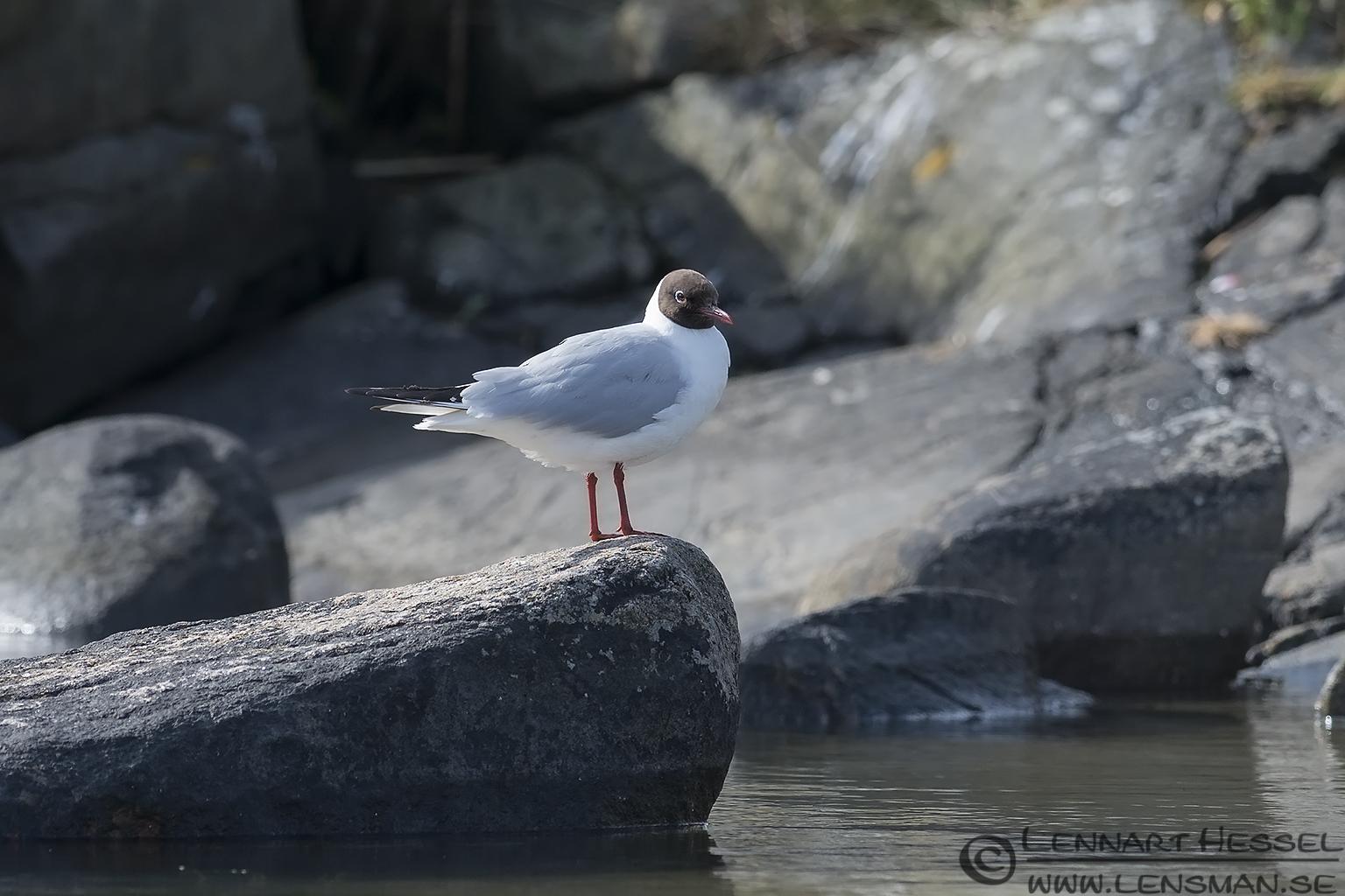 Black-headed Gull colony
