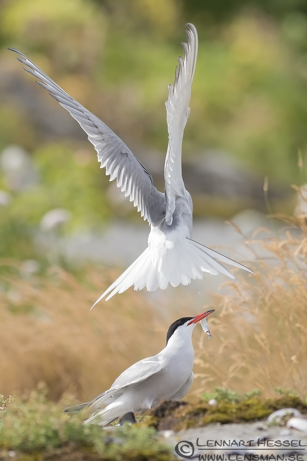 Common Tern couple with snapped fish colony