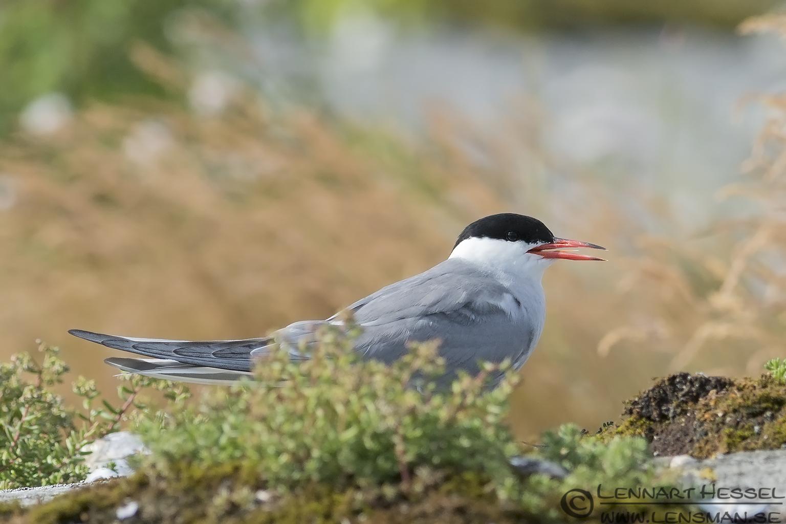 Common Tern colony