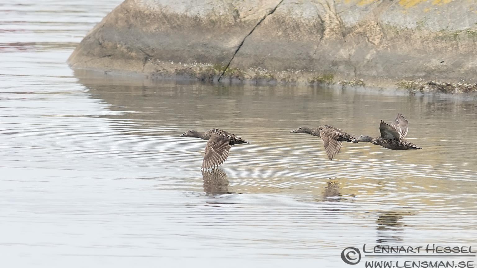 Common Eider females in flight midsummer