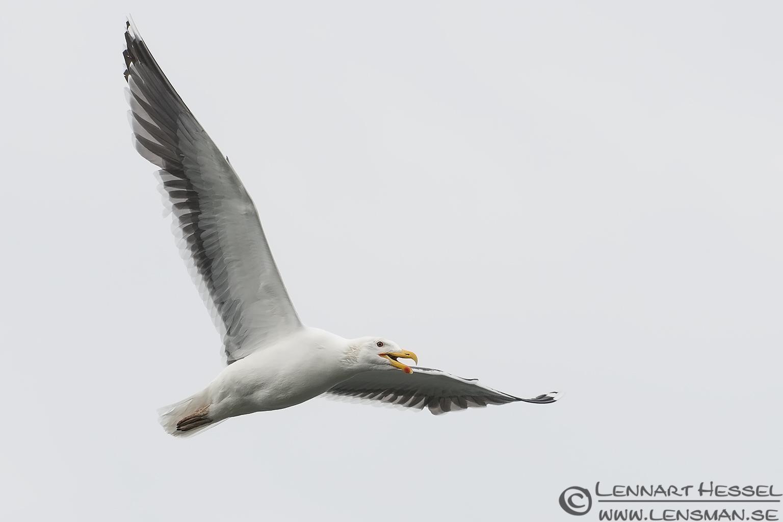 Great Black-backed Gull midsummer