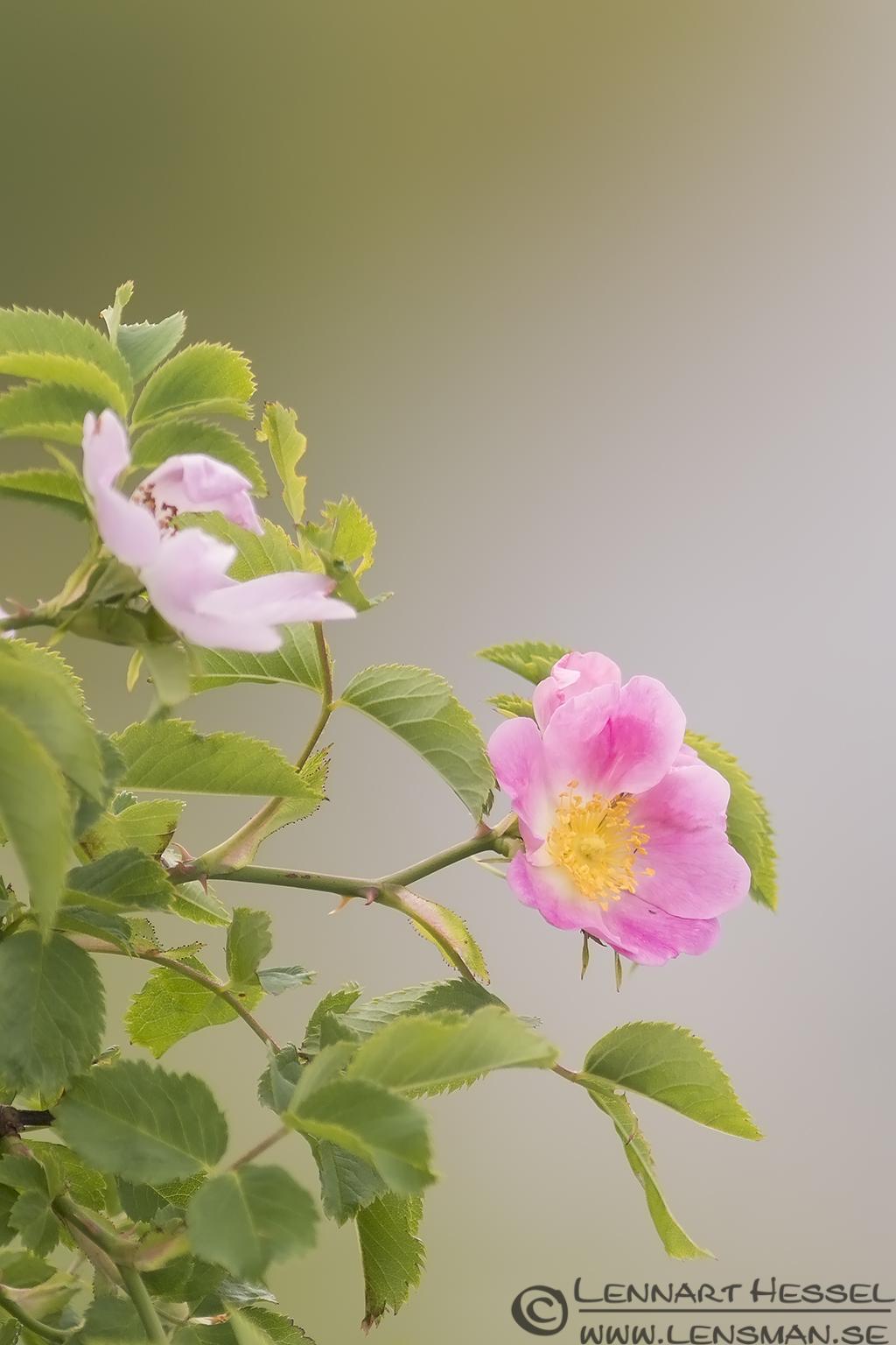 Pink flower midsummer
